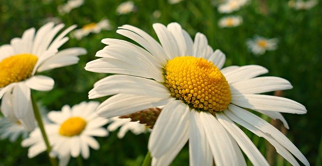 ox-eye-daisy-3567184_640